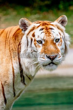 tigre dinvecchiamento