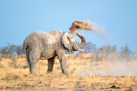 africa elefante polvere zanna natura africano