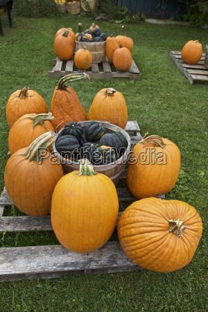 agricoltura zucca stagione ringraziamento arancione verdure