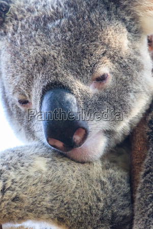 koala bear close up