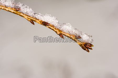 ramoscello con gemme coperte di neve