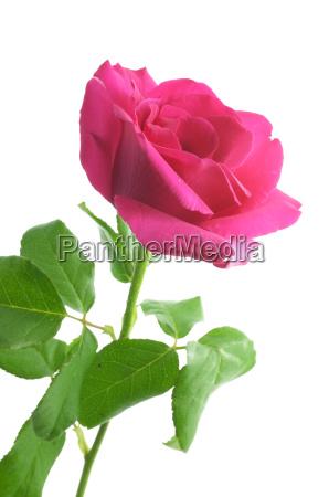 fiore pianta rosa amare amore innamorato