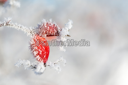 rosa canina rossa con cristalli di
