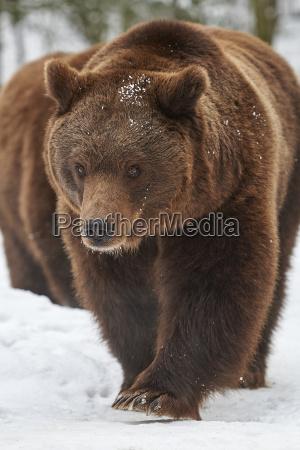 primo piano inverno animale mammifero freddo