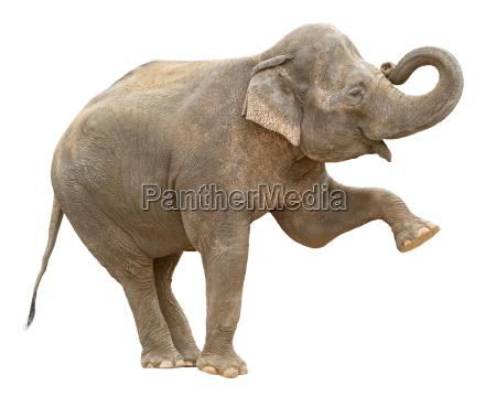 asiatico elefante femmina saluto ritaglio
