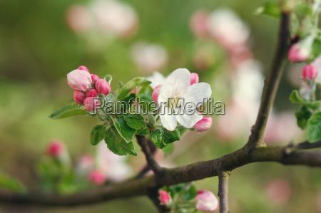 fiori bianchi che sbocciano sul ramo