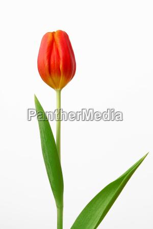 rilasciato primavera tulipani fiore impianto tulipano