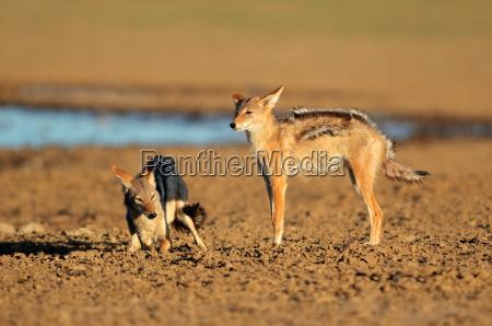 animale predatore interazione attacco assalto aggressione