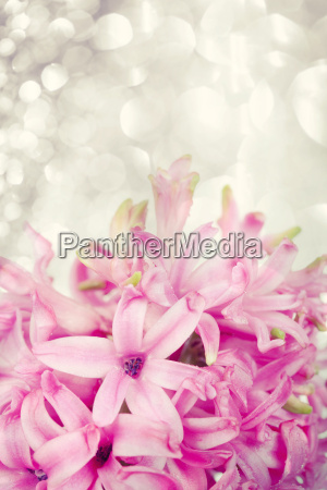 giacinto rosa su sfondo astratto