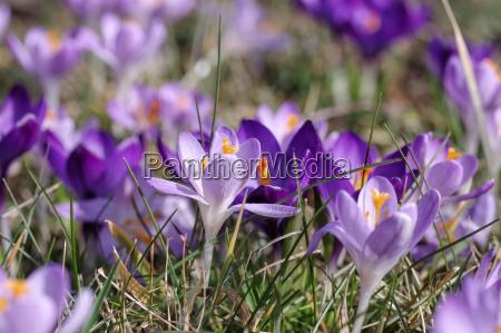 krokus crocus fiori in primavera