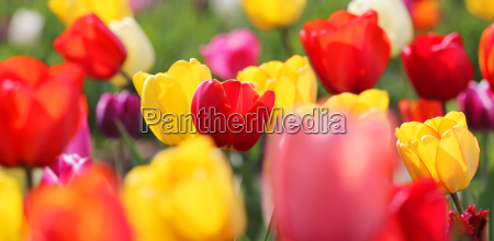 colorful tulips meadow