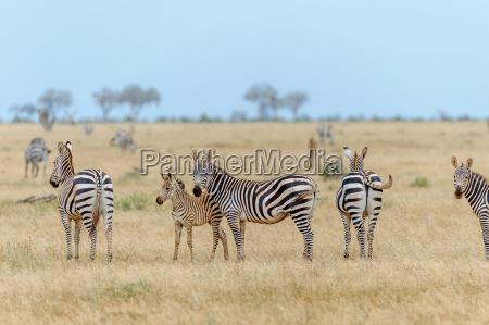 africa kenia savana cavallo cavalli zebra