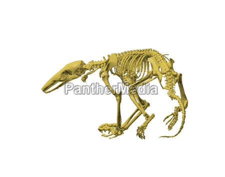 esentata scheletro formichiere