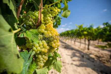 colore giardino agricoltura campo vino estate