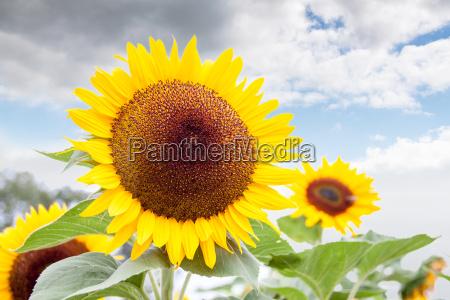 colore giallo luminoso di un girasole