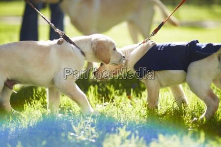 i cani guida in addestramento del