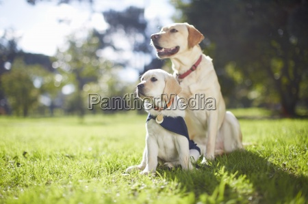 due cani guida in addestramento del