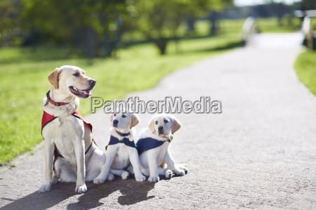 tre cani guida in addestramento del