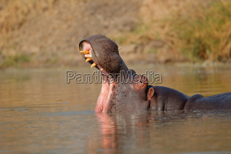 mammifero selvaggio natura sudafrica ippopotamo luogo