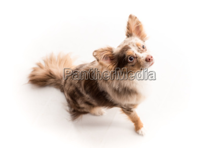 little dog looks attentive and makes