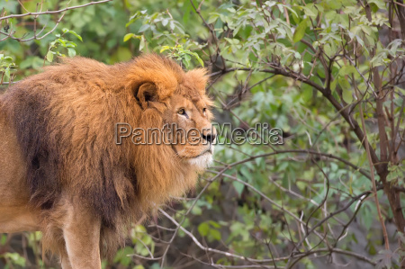 lion in a clearing