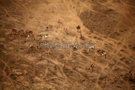 ambiente animale mammifero marrone savana cammello