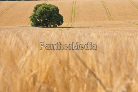 single tree in sunny rural barley