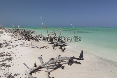 pristine beach with mangrove bleached woods