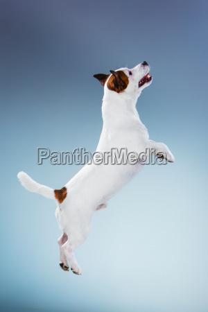piccolo jack russell terrier salto alto