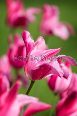 fiore pianta primavera porpora impianto tulipano