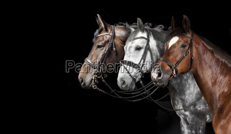 cavalli collage sfondo nero