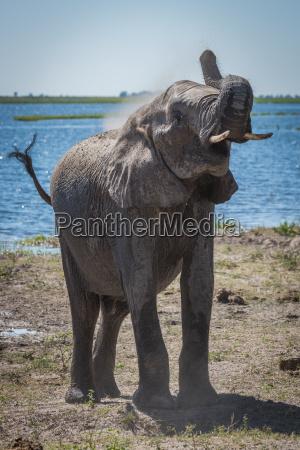 elefante gettando polvere sulla spalla accanto