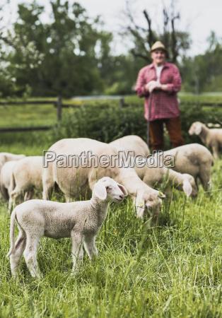 pastore con gregge di pecore al