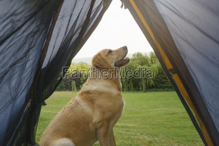 labrador retriever seduto davanti alla tenda