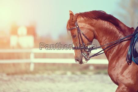 cavallo stallone castrone cavalla