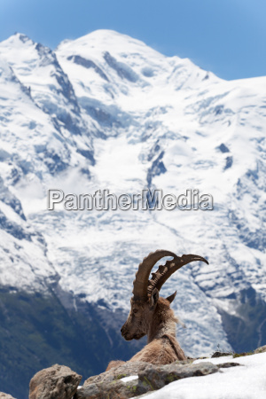 montagne verde alpi alpino pascere brucare