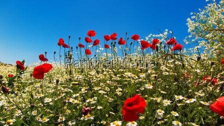 fioritura fiorire fiore fiori estate papavero