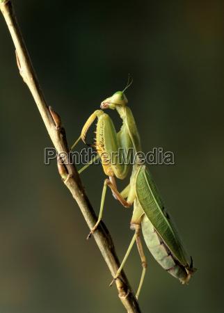praying mantis on a branch
