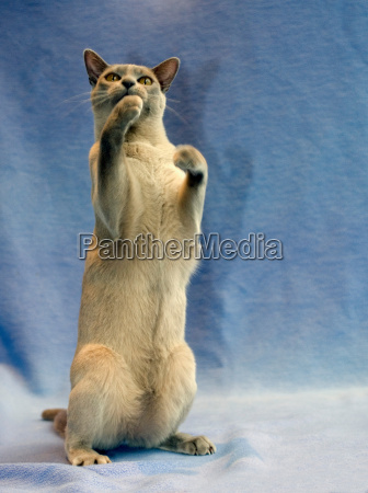 cat on hind legs with blue