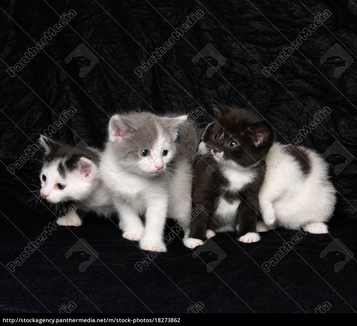 kittens, on, black, background - 18273862