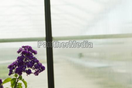 purple flowers by window