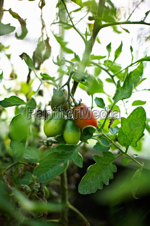 tomatoes growing on vine outdoors