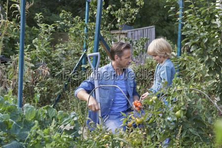 father and son picking tomatoes on