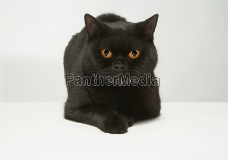portrait of black cat