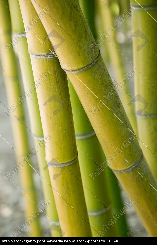 bamboo, plant - 18613540