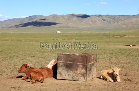 cows resting in mongolian field