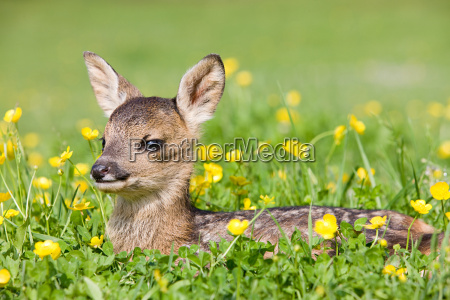 cute fawn sitting on grass