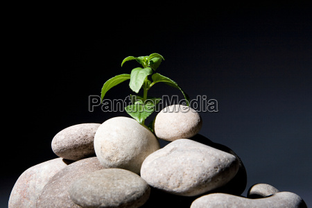 plant growing from pebbles