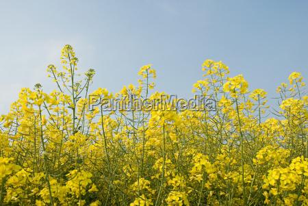 oilseed rape plant