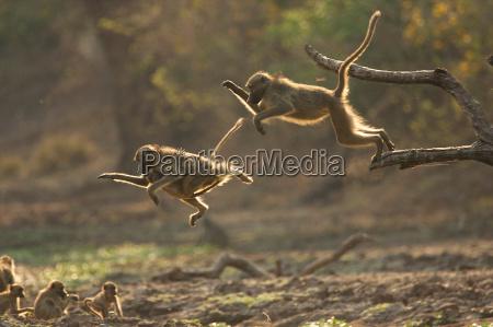 baboons papio cynocephalus ursinas leaping from